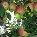 apple-75114_640